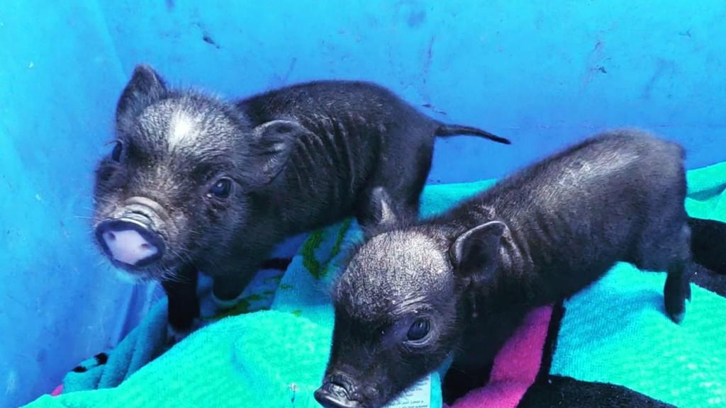 Animal Sanctuary Pigs
